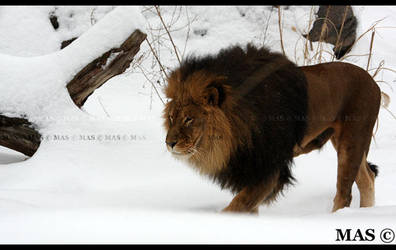 Lion_9756 by MASOCHO