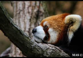 Red Panda_3591 by MASOCHO