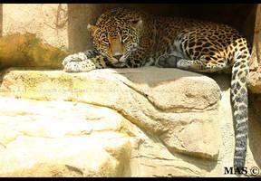 Jaguar_0401 by MASOCHO