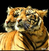 Sumatran Tigers_5286 by MASOCHO