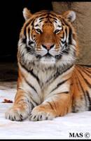 Amur Tiger_3571 by MASOCHO