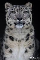Snow Leopard_1909 by MASOCHO