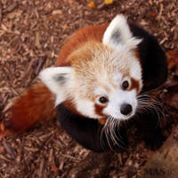 Red Panda by MASOCHO