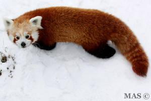 Red Panda_0623 by MASOCHO