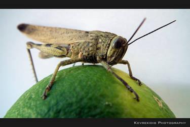 Acrididae by Kevrekidis