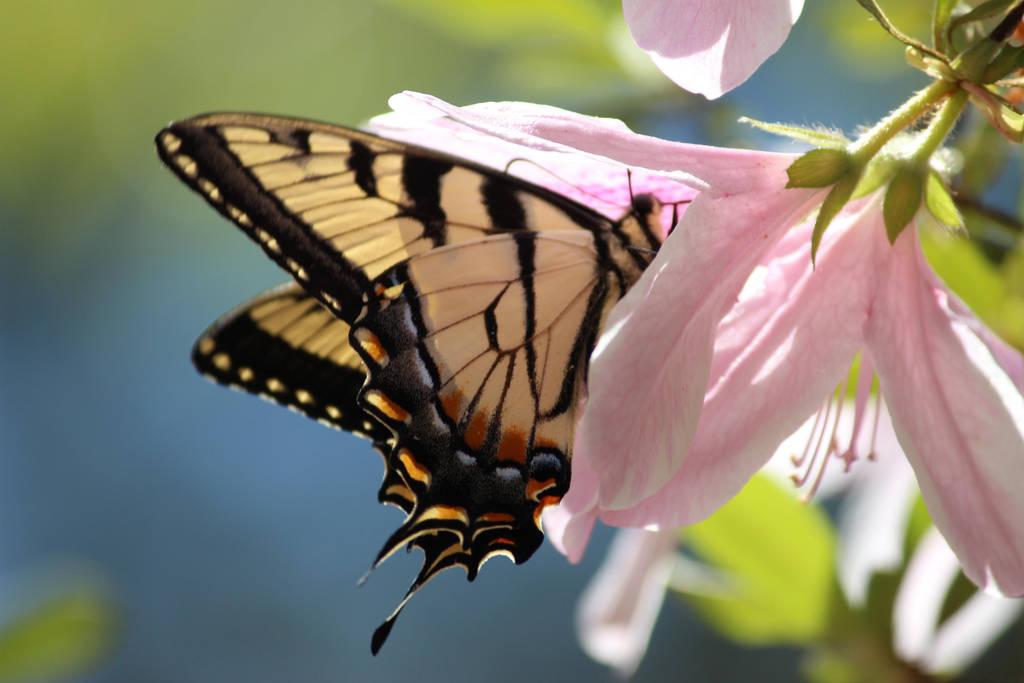 Azalea and Tiger Swallowtail by Krichotomy