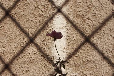 Bulgarian rose by Taychimono