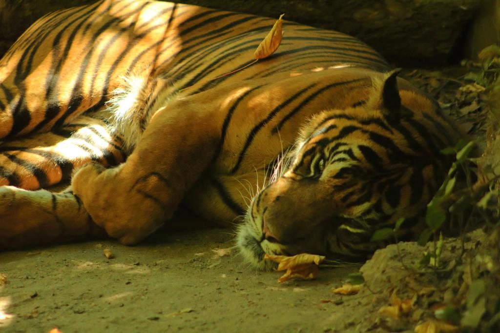Tiger (2) by Amanda-AS