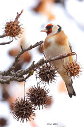 Goldfinch by s-ascic