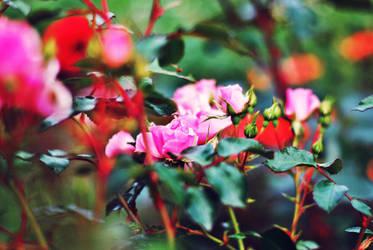 roses. by Vetera