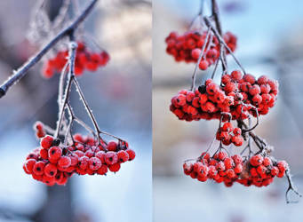 ashberry. by Vetera