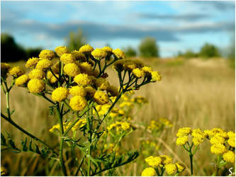 Common Tansy... by grandma-S