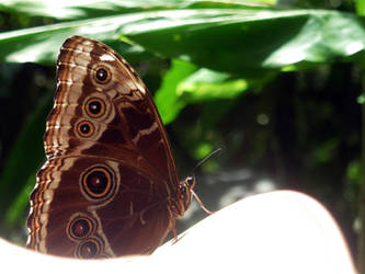 Blue Morpho by Mari-3