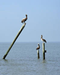 Brown Pelicans' Roost by Mari-3