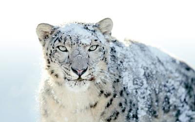 Snow Leopard by FledMorphine