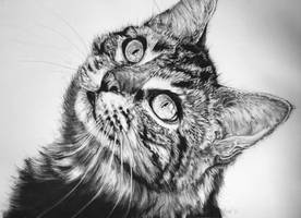 Maine Coon by InjectVibrancy