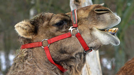Laughing dromedary by UdoChristmann