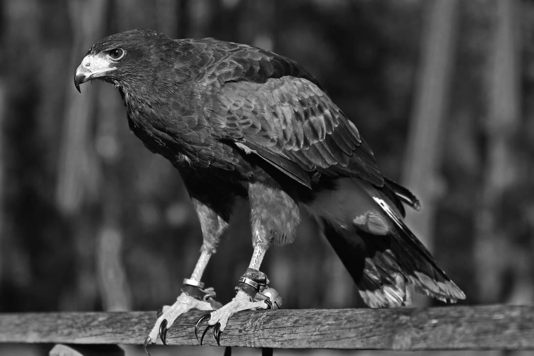 Harris Hawk - monochrome by UdoChristmann