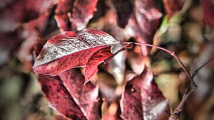 Red leave by UdoChristmann