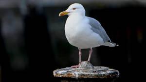 Seagull on a bollard by UdoChristmann