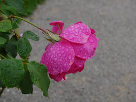 Rose with waterdrops by UdoChristmann