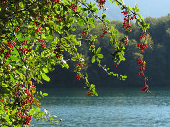 Berries beside a lake by UdoChristmann