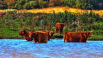 Highland cattle by UdoChristmann