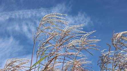 Gras or wild grain by UdoChristmann