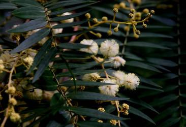 Eucalyptus by UdoChristmann