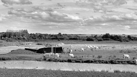 Cattle by UdoChristmann