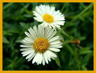 Mini Daisy by b0o-b0o