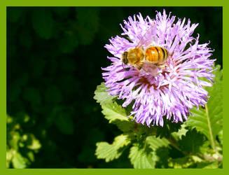 Honey Bee by b0o-b0o