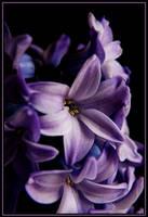 Hyacinth Close up by TThealer56
