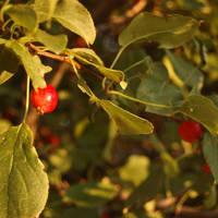 sunset berries by misticloudz