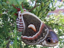 Cecropia Moth? by SegaDisneyUniverse