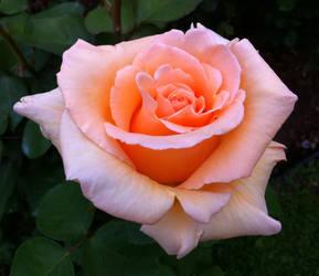 Pink Rose by jackthetab