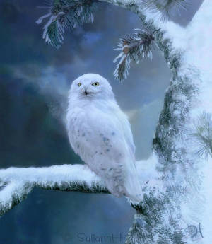 Winterland Snowy Owl by SuliannH