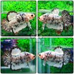 Meet Pongo the HMPK! by ChocolateShiba