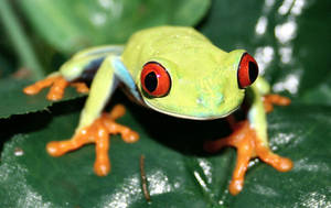 Red Eyed Tree Frog  1 by pdxcabby