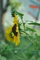 sun flower and his friend by das-kleine-herz