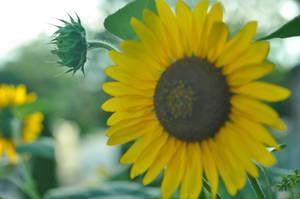 sun flower 2 by das-kleine-herz