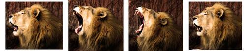 The Lackadaisical Lion by Entophile
