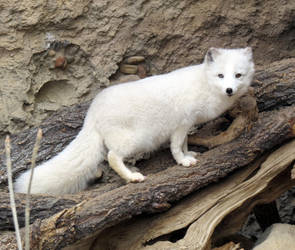 Arctic Fox on Display by Entophile