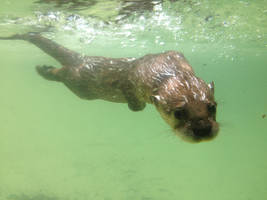 A young Otter by EthanRedOtter