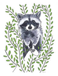 Racoon by claireingram