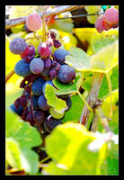 Grapes by pdpardue