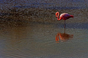 Flamingo, Galapagos by fourthwall