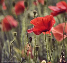...popy flowers.... by canismaioris