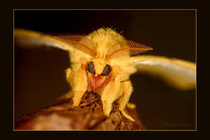 Io Moth Series 2 by UffdaGreg