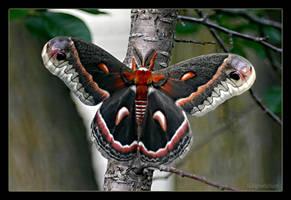 Hyalophora Cecropia Moth by UffdaGreg